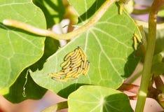 Eine große Gruppe eben ausgebrütete Marienkäferlarven auf einem grünen vibrierenden Pelargonienblatt Lizenzfreies Stockfoto