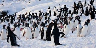 Eine große Gruppe Pinguine Stockbilder