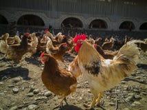 Eine große Hühnerfamilie und -hahn auf dem Bauernhof lizenzfreie stockfotografie