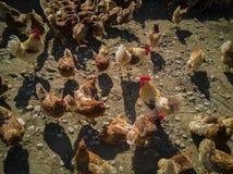 Eine große Hühnerfamilie und -hahn auf dem Bauernhof lizenzfreie stockbilder