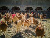 Eine große Hühnerfamilie und -hahn auf dem Bauernhof stockfoto