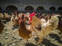 Eine große Hühnerfamilie und -hahn auf dem Bauernhof stockbild