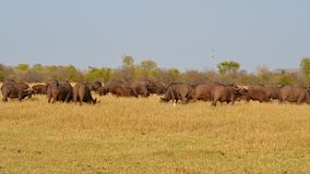 Eine große Herde des Büffels Stockbild