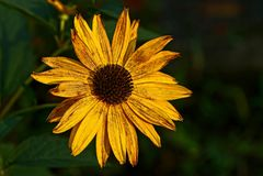 Eine große Knospe einer gelben trockenen Blume auf einem Stiel im Garten stockfoto