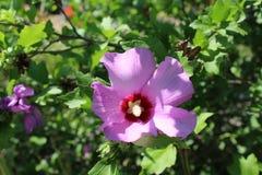 Eine große lila Blume blühte auf der Niederlassung eines großen Busches Stockfotos