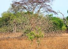Eine große Menge von Quelea-Vögeln im Flug - mit Bewegungsunschärfe im Süd-luangwa, Sambia lizenzfreies stockfoto