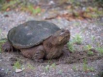 Eine große reißende Schildkröte, die durch die Straße hängt stockfoto