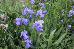 Eine große Reinigung mit lila Blumen Stockfotos