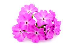 Eine große rosafarbene geblühte Primel lizenzfreie stockfotografie