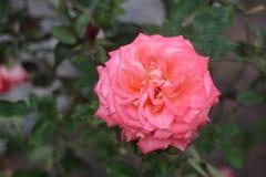 Eine große Rosarose Lizenzfreies Stockbild