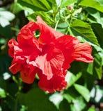 Eine große rote Blume in Florida stockfotografie