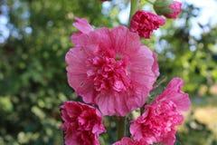 Eine große rote Blume hat gewellte Blumenblätter Stockfotografie