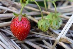 Eine große saftige Erdbeere und die unausgereifte Stockbild