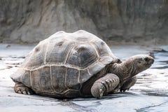 Eine große Schildkröte, die sich langsam bewegt stockfoto