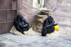 Eine große schwarze Gorillafamilie mit den Babys, die im Zoo sitzen und sich entspannen Lizenzfreie Stockbilder