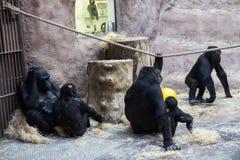 Eine große schwarze Gorillafamilie mit den Babys, die im Zoo sitzen und sich entspannen Stockfotografie