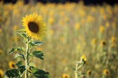 Eine große Sonnenblume auf einem Gebiet von Sonnenblumen auf Sunny Day Lizenzfreie Stockbilder