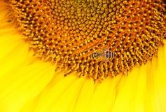Eine große Sonnenblume mit den schönen gelben Blumenblättern Im Herzen der Blume ist eine Biene Stockfotografie