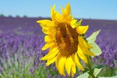 Eine große Sonnenblume mit weichem Hintergrund des Lavendelfeldes stockfotografie