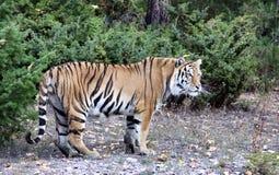 Sibirischer Tiger Lizenzfreie Stockfotos