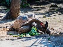 Eine große tönerne Schildkröte isst das Gemüse, das aus den Grund zerstreut wird Stockbild