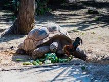 Eine große tönerne Schildkröte isst das Gemüse, das aus den Grund zerstreut wird Stockfotografie