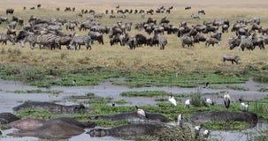 Eine große Vielfalt von wild lebenden Tieren werden am See Magadi im Ngorongoro-Krater in Tansania, Afric gesehen lizenzfreie stockbilder