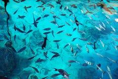 Eine große Vielzahl der roten Fische Stockbild