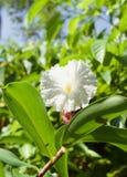 Eine große weiße Blume stockbilder