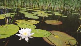 Eine große weiße Blume, die auf den Fluss sich ruckartig bewegt, bewegt wellenartig stock video