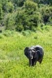 Eine große weibliche Elefantkuh ging, durch ein Flussbett sich zu wundern Stockfotos