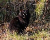 Eine große wilde schwarze Katze im Wald Lizenzfreies Stockfoto