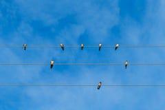Eine Gruppe Abweichen schluckt das Sitzen auf elektrischen Drähten Stockfoto