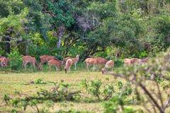 Eine Gruppe Achsenrotwild stehen auf einer Lichtung im Yala Nationalpark Stockfotos