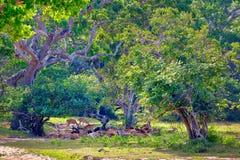 Eine Gruppe Achsenrotwild stehen auf einer Lichtung im Yala Nationalpark Lizenzfreie Stockbilder