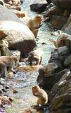 Eine Gruppe Affen - Mützen-Makaken - trinkend und mit Wasser eines Stromes spielend Stockfotografie