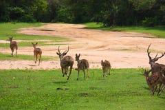 Eine Gruppe Betrieb von beschmutzten Rotwild in Nationalpark YALA Stockfotos
