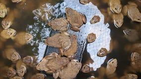 Eine Gruppe braune Frösche stockfoto