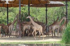 Eine Gruppe der Giraffe Stockbild