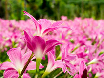 Eine Gruppe der rosa Blume Lizenzfreie Stockbilder