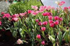 Eine Gruppe der rosa Tulpe im Garten lizenzfreies stockbild