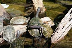 Eine Gruppe der Schildkröte zusammen Lizenzfreies Stockbild