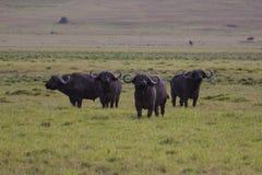 Eine Gruppe des Büffels heraus aufpassend Lizenzfreie Stockbilder