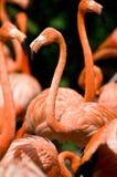 Eine Gruppe des Flamingos Lizenzfreies Stockfoto