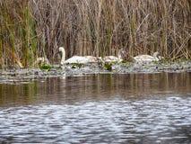 Eine Gruppe des jungen Schwanschwimmens ruhig im Wasser stockfotos