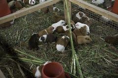 Eine Gruppe des Meerschweinchenessens lizenzfreie stockfotos