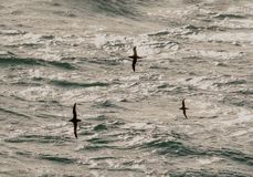 Eine Gruppe des Seevogels des Manx Sturmtauchers, Puffinus Puffinus, im eveni Stockfotografie
