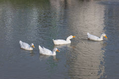 Eine Gruppe Enten stockbilder