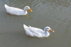 Eine Gruppe Enten lizenzfreies stockfoto
