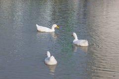 Eine Gruppe Enten stockfoto